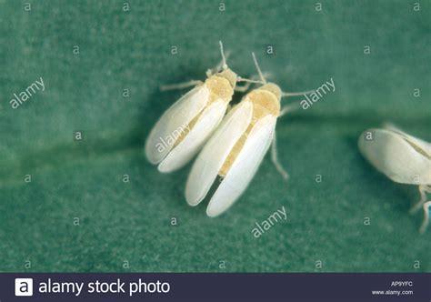 http://www.alamy.com/stock-photo-cotton-whitefly-bemisia-tabaci-adults-male-female-5134331.html
