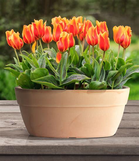 bulbi tulipani in vaso mettiamo le bulbose in vaso il giardino di bama