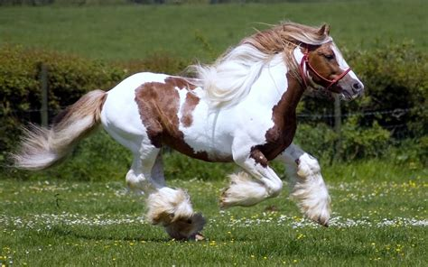 horse brown running fast horses hd background wallpapers desktop animal gypsy vanner backgrounds