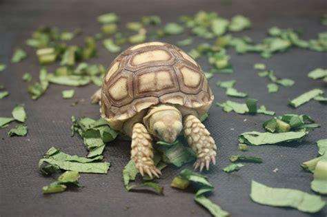 ikanjahat.com: kura-kura predator