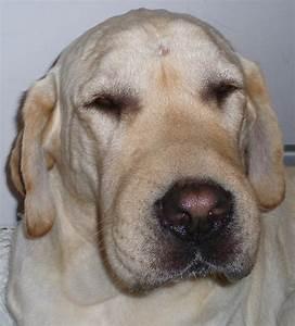 Lèvre Enflée Bouton : l 39 d me de quincke ou urticaire facial chien ~ Medecine-chirurgie-esthetiques.com Avis de Voitures