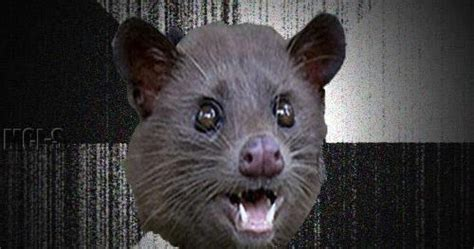 wallpaper lucu perbedaan luwak  manusia wallpaper lucu unik