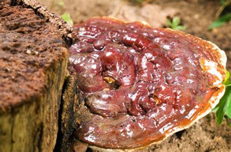 Pilz Garten Braun by Bio Reishi Pilz Pulver 200g Kaufen Tausendkraut