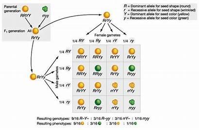 Dihybrid Crosses Cross Genetics Gene Genetic Linkage