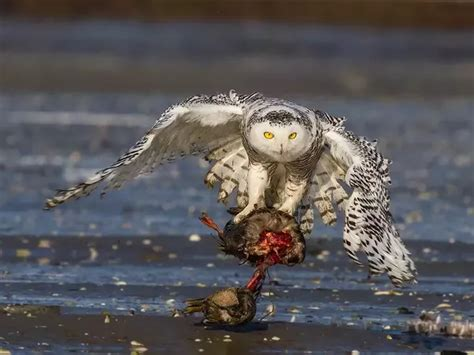 what are the enemies of snowy owl quora