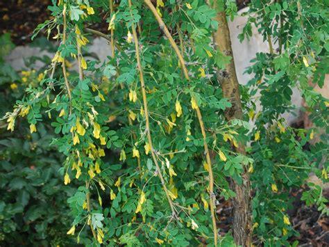 weeping pea shrub