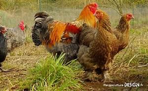 Fréquence Ponte Poule : comment bien choisir vos poules pour votre levage ~ Melissatoandfro.com Idées de Décoration