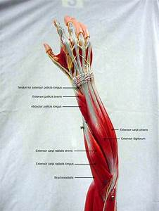 25  Best Ideas About Muscles Of The Forearm On Pinterest