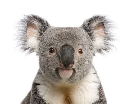 koalas facts about iconic marsupials