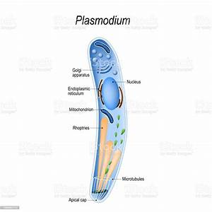 Diagram Of Plasmodium Structure Stock Illustration