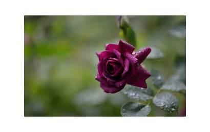 Roses Purple Rose Wallpapers Background Desktop Backgrounds