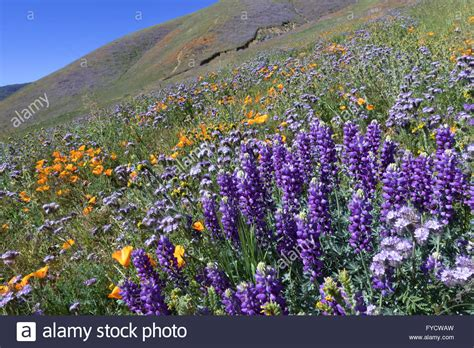 wildflower field  southern california stock photo