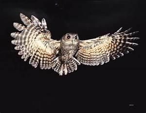 screech owl | Owls | Pinterest