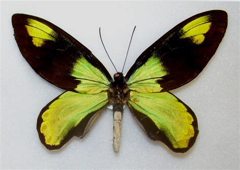 ornithopteres dictionnaire des sciences animales