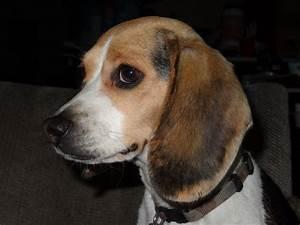 Full-Grown Miniature Beagles | beagle babies puppies ...