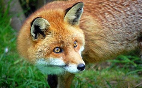 High Definition Animal Wallpapers - the fox high definition animal photography wallpaper 12