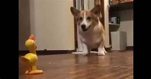 Corgi hops in excitement over chicken toy | MNN - Mother ...