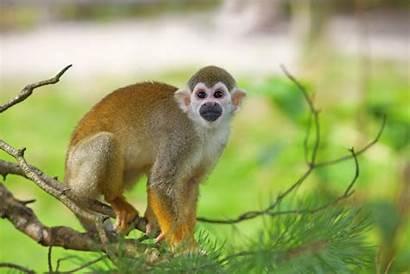 Squirrel Monkey Monkeys Facts Comune Scoiattolo Scimmia