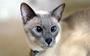 Lilac Point Siamese by photoboater on DeviantArt