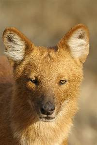 Dhole (Indian Wild Dog) – Most Successful Predator in the ...
