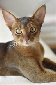 abyssinian cats abyssinian cat abyssinians