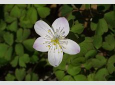 National Flower Of Lithuania Rue Flower 123Countriescom