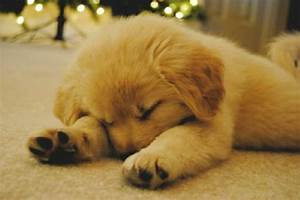 Cute Golden Retriever Sleeping Picture - Doglers