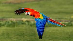 Scarlet Macaw Birds - Pet Profile of Scarlet Macaws