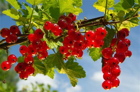 Garten Johannisbeeren Pflanzen by Johannisbeeren Schneiden Pflege Tipps Garten
