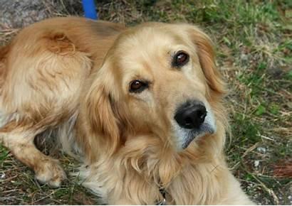 Dog Breeds Aggressive Least Golden Retriever Snarl
