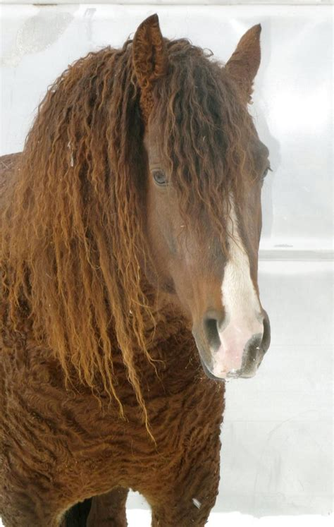 horse curly gaited missouri horses there