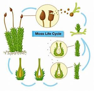 Diagram Showing Moss Life Cycle