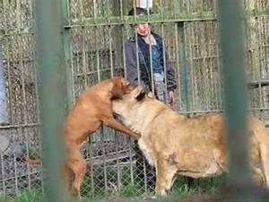 Pitbull Vs Kangal , peleas de perros Pitbull | FunnyDog.TV