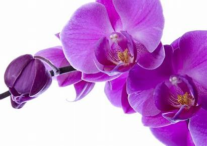 Orchid Orchids Wallpapers Orchidee Definition Bloemen Wit
