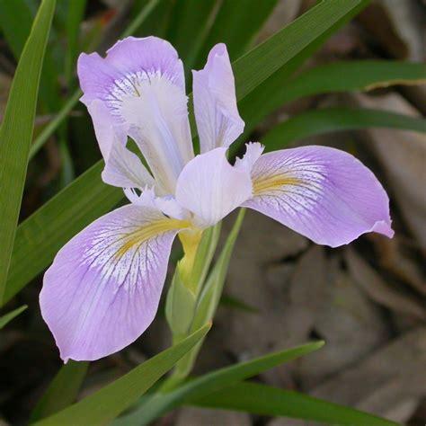 iris flowers picture of iris flower beautiful flowers