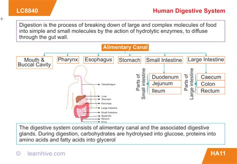 Flow Chart Of Human Digestive System With Enzymes Process Chart Builder Flow Of Yogurt Workflow Template Rita Excel Flowchart With Timeline Task 1 Generator Free