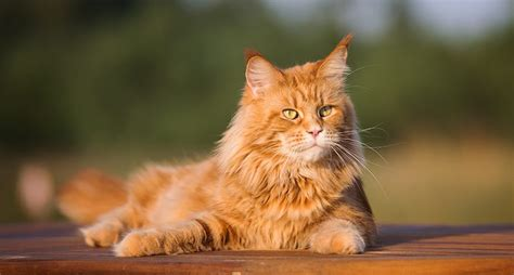 maine coon cats        breed