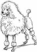 Poodle Coloring Toy Pages Drawing Printable Line Poodles Google Drawings Psf Clipart Clip Sketches Getdrawings Drawn Getcolorings Library Children Kr sketch template