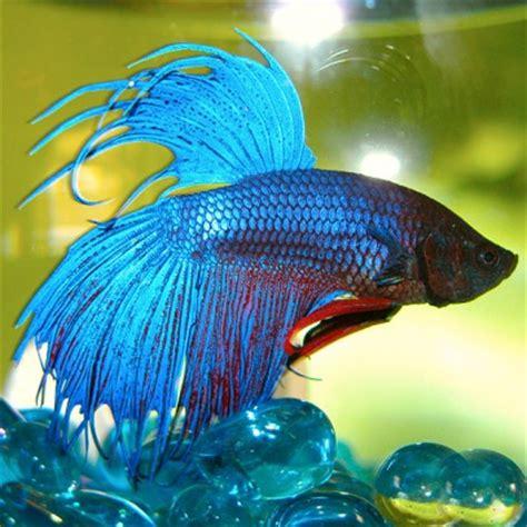 siamese fighting fish betta splendens amazing amazon