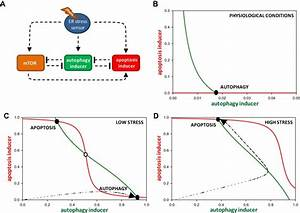 The Minimal Model Of Cell Fate Decision During Er Stress