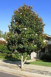 Arbre à Croissance Rapide Pour Ombre : arbre persistant a croissance rapide maison design ~ Premium-room.com Idées de Décoration