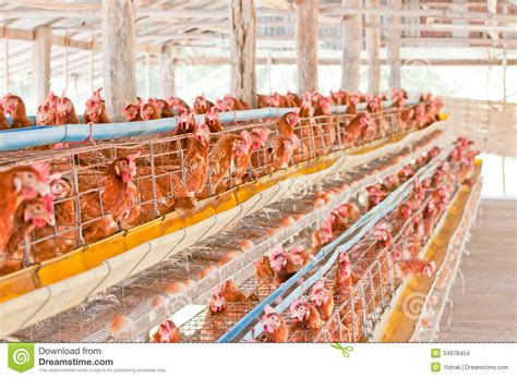 Llight Farms Ls Made In Thailand farm chicken eggs stock photo image of caged cage