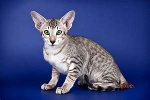 17 Best images about Cats on Pinterest | American bobtail ...