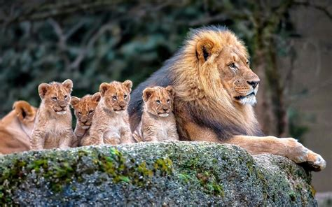 Animal Cubs Wallpapers - and his cubs hd wallpaper and background image
