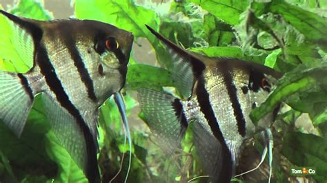 poisson d aquarium l aquarium d eau chaude mes poissons tom co