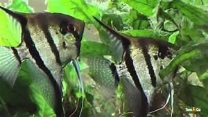 Poisson Aquarium Eau Chaude : l 39 aquarium d 39 eau chaude mes poissons tom co youtube ~ Mglfilm.com Idées de Décoration
