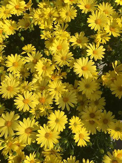 Aesthetic Yellow Daisy Daisies Flowers Flower Spring