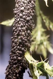 Wucherungen An Pflanzen : junge und alte tiere in erster reihe wie sich blattl use verteidigen n ~ Buech-reservation.com Haus und Dekorationen