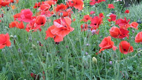 tricks  growing poppies garden guides