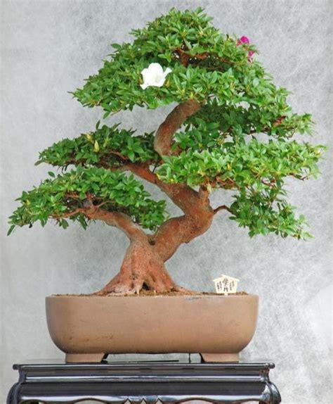 creer sa cuisine comment s 39 occuper d 39 un bonsaï 8 é